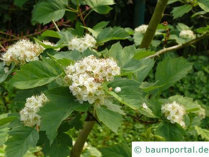 Blut-Weißdorn (Crataegus sanguinea) Blüten