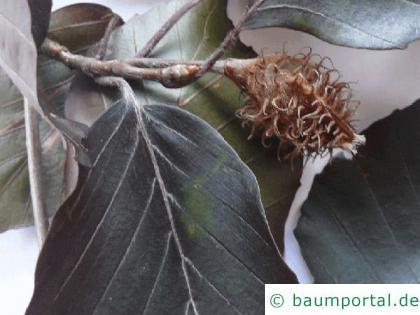 Blutbuche (Fagus sylvatica purpurea) Frucht
