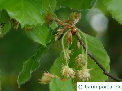 Buche (Fagus sylvatica) männliche und weibliche Blüten