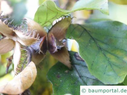 Buche (Fagus sylvatica) Frucht
