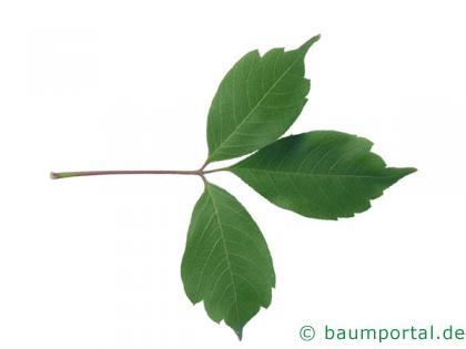 Cissusblättriger Ahorn (Acer cissusfolium) Blatt
