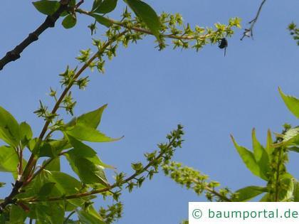 Cissusblättriger Ahorn (Acer cissusfolium) Blüten