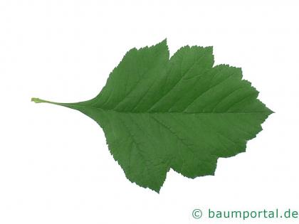 Crataegus maximowiczii Blatt