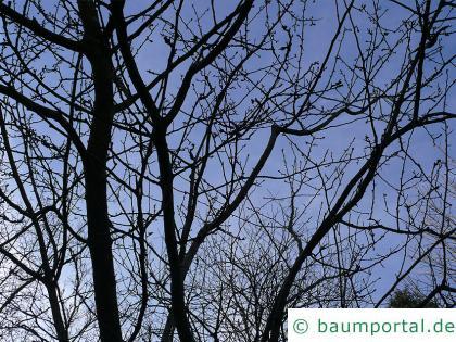 Crataegus maximowiczii Krone im Winter