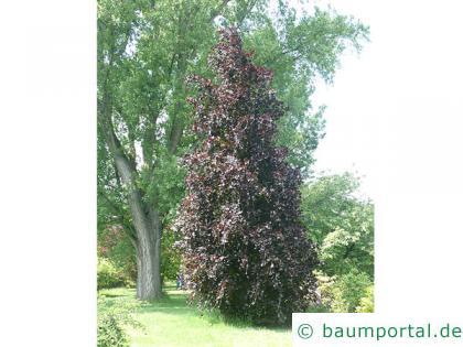 Säulen-Buche 'Purple' (Fagus sylvatica 'Dawyck Purple' ) Baum