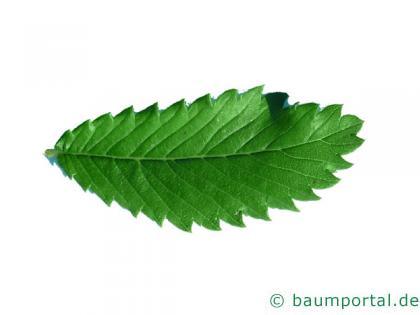 Dorn-Ulme (Hemipetlea davidii) Blatt