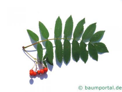 Vogelbeere (Sorbus aucuparia) Blatt