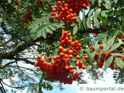 Vogelbeere (Sorbus aucuparia) Früchte