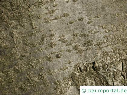 Vogelbeere (Sorbus aucuparia) Stamm / Borke / Rinde