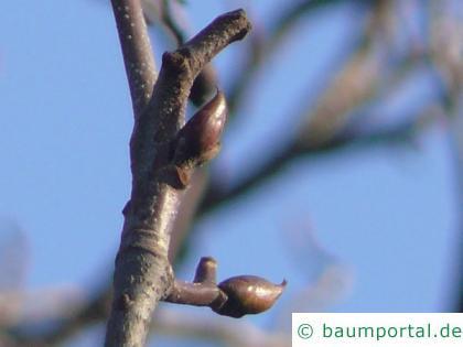 echte Mehlbeere (Sorbus aria) Sommer-Knospen