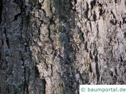 echte Mehlbeere (Sorbus aria) Stamm / Borke / Rinde