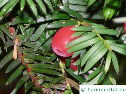Eibe (Taxus baccata) Frucht