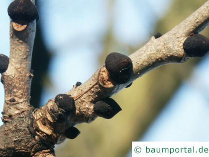 Esche (Fraxinus excelsior) schwarze Knospen
