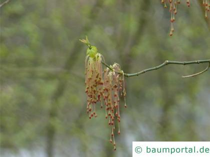 Eschen-Ahorn (Acer negundo) Blüten
