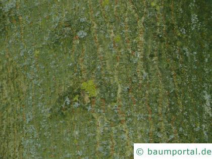 Eschen-Ahorn (Acer negundo) Stamm