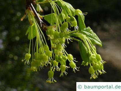 Felsen-Ahorn (Acer monspessulanum) Blüte
