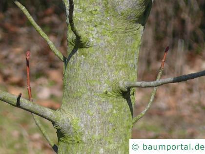 Feuer-Kirsche (Prunus pensylvanica) Stamm / Borke / Rinde