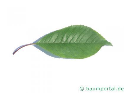 Feuer-Kirsche (Prunus pensylvanica) Blatt