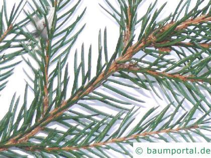 gemeine Fichte (Picea abies) Zweig