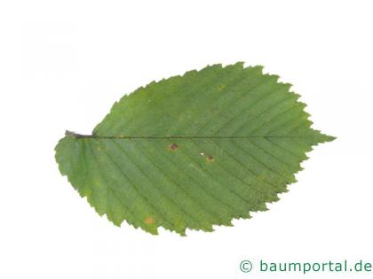 Flatter-Ulme (Ulmus laevis) Blatt