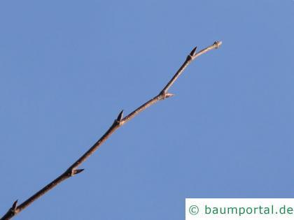 Flatter-Ulme (Ulmus laevis) Knospen