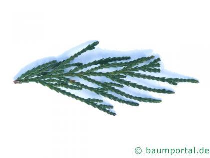 Fluss-Zeder (Calocedrus decurrens) Nadeln