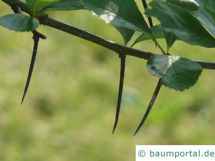 frostiger Weißdorn (Crataegus pruinosa) Zweig mit langen Dornen