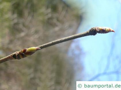 Gelb Birke (Betula alleghaniensis) Endknospe