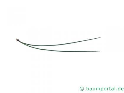 Gelb-Kiefer (Pinus ponderosa) Nadel