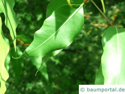 gesprenkelter Eukalyptus (Corymbia maculata) Blatt