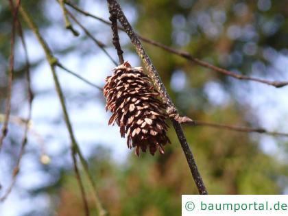 Gold-Birke (Betula ermanii) Frucht im Winter