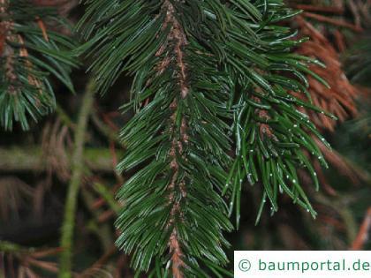 Grannen-Kiefer (Pinus aristata) Zweig