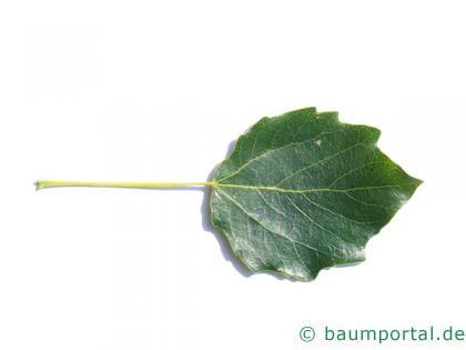 Grau-Pappel (Populus × canescens) Blatt