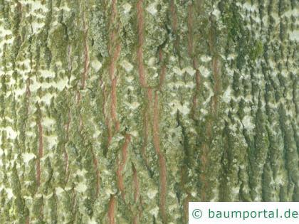 Grau-Pappel (Populus × canescens) Stamm / Borke / Rinde