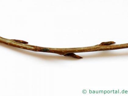 Grau-Pappel (Populus × canescens) Zweig