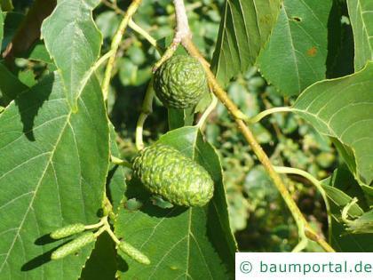 großblättrige Erle (Alnus spaethii) Früchte im  Sommer