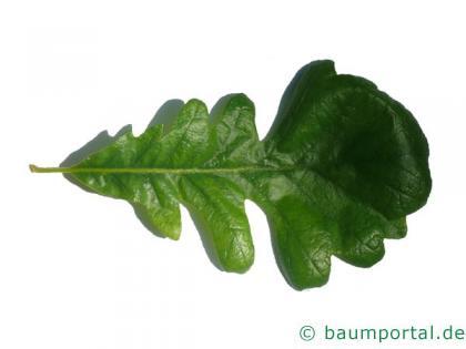 Großfruchtige Eiche (Quercus macrocarpa) Blatt