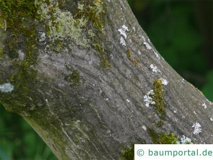 grüner Fächer-Ahorn (Acer palmatum 'Ozakazuki') trunk / bark