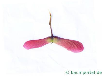 grüner Fächer-Ahorn (Acer palmatum 'Ozakazuki') Frucht
