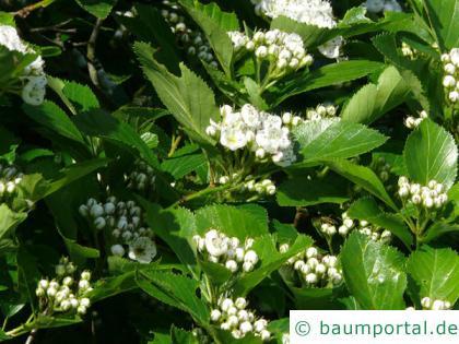Hahnendorn (Crataegus crus-galli) Blütenknospen