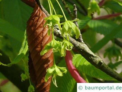 hainbuchenblättrige Ahorn (Acer carpinifolium) Blüte