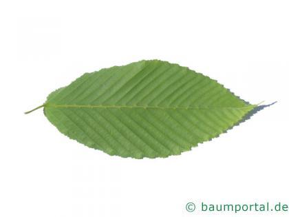 hainbuchenblättrige Ahorn (Acer carpinifolium) Blatt