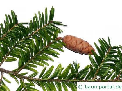 Hemlocks-Tanne (Tsuga canadensis) Zweig-zapfen