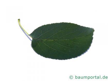 herzblättrige Erle (Alnus cordata) Blatt