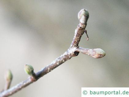 italienische Erle (Alnus cordata) Endknospe