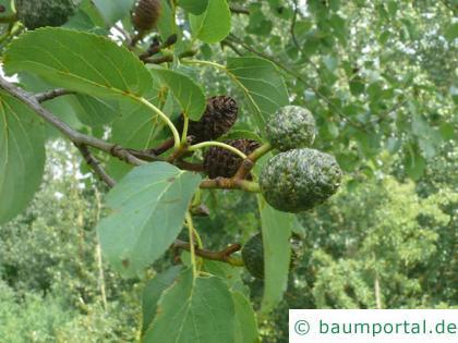 herzblättrige Erle (Alnus cordata) Frucht