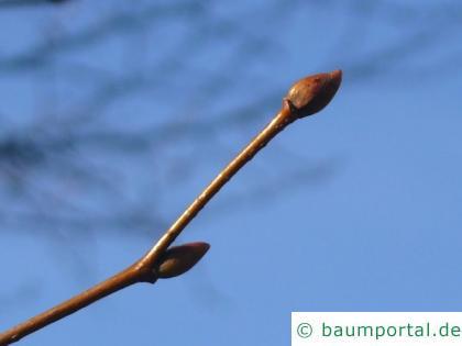 Holländische Ulme (Ulmus hollandica) Knospe im Winter