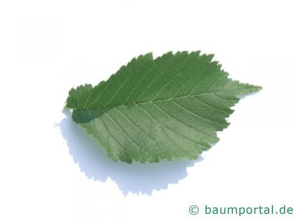 Holländische Ulme (Ulmus hollandica) Blatt