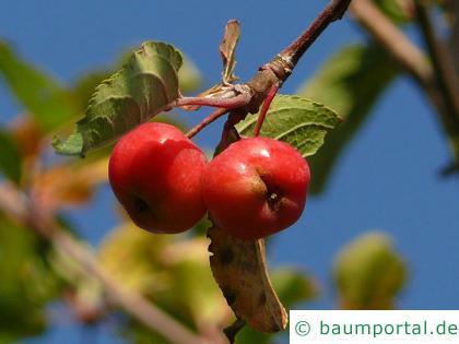 Holz-Apfel (Malus sylvestris) Apfel  / Holz-Apfel
