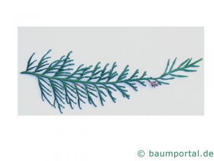 japanischer Lebensbaum (Thuja standishii) Nadeln